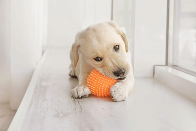 Cute labrador retriever puppy playing with rubber ball while lying on window sill at home