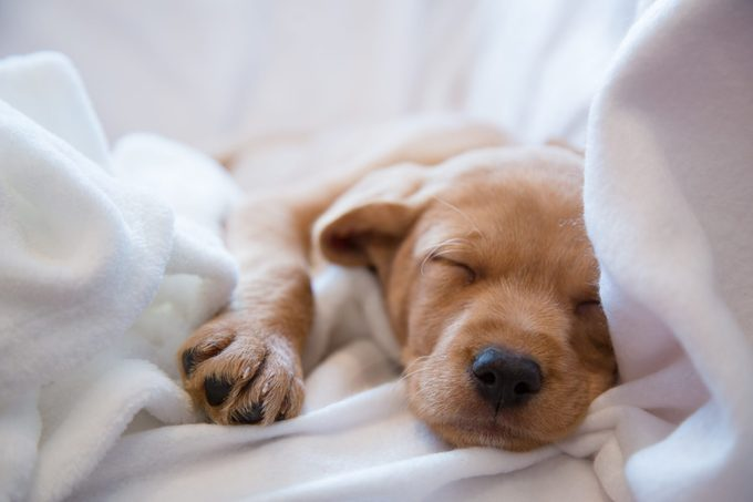 Close-up of puppy's nose / Two months old vizsla mix puppy sleeping on white sheets