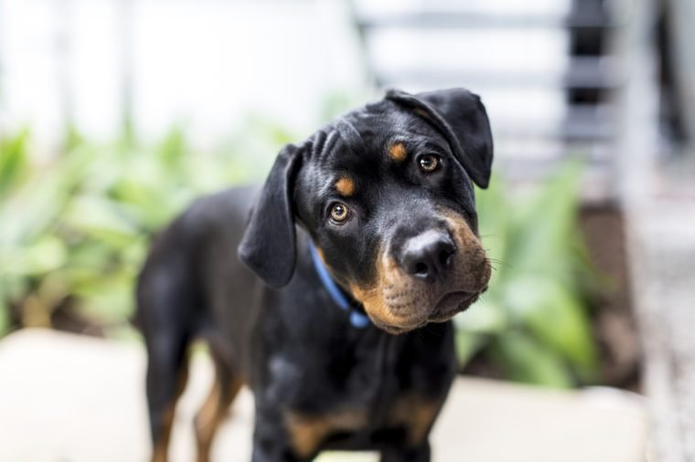 Dog Rottweiler Puppy Looking to camera with head tilted