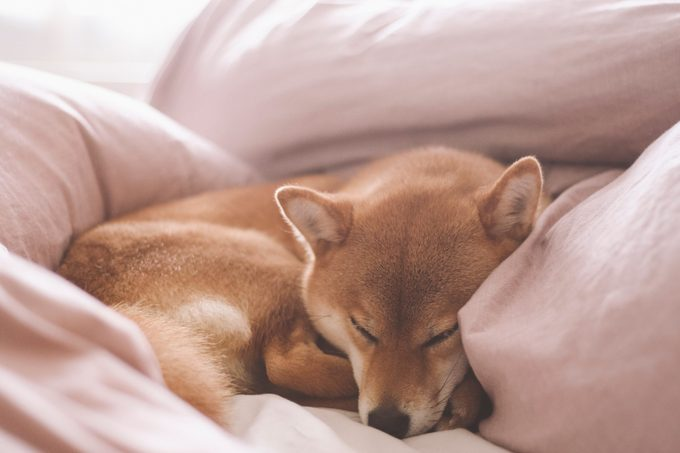 Cute female pedigree shiba inu dog with red fur sleeping in human bed with pink sheets, closeup with natural light from window. Dreamy peaceful.