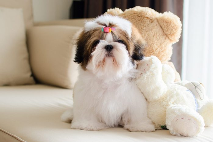 Cute Shih-Tzu is sitting on a couch with teddy bears and looking at the camera