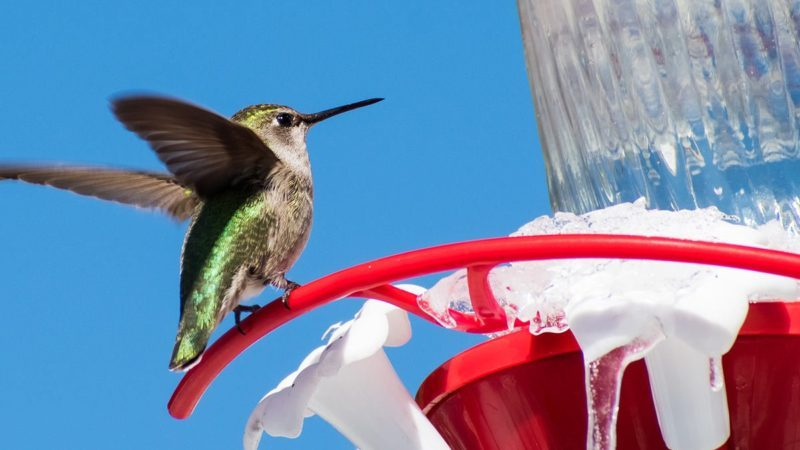 hummingbird in winter