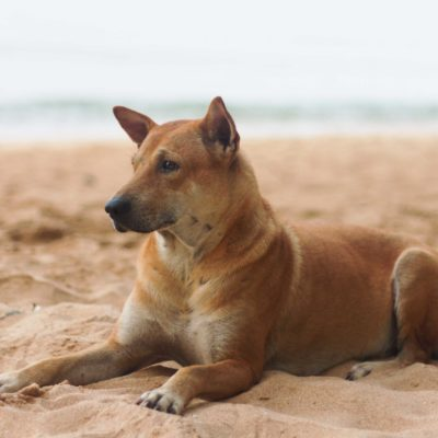 Brown dog on the beach with the sea as a background.