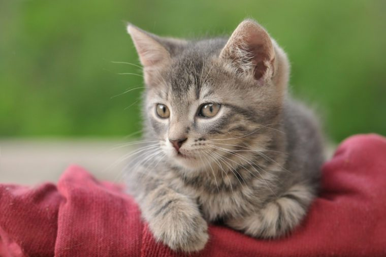 Beautiful gray tabby kitten