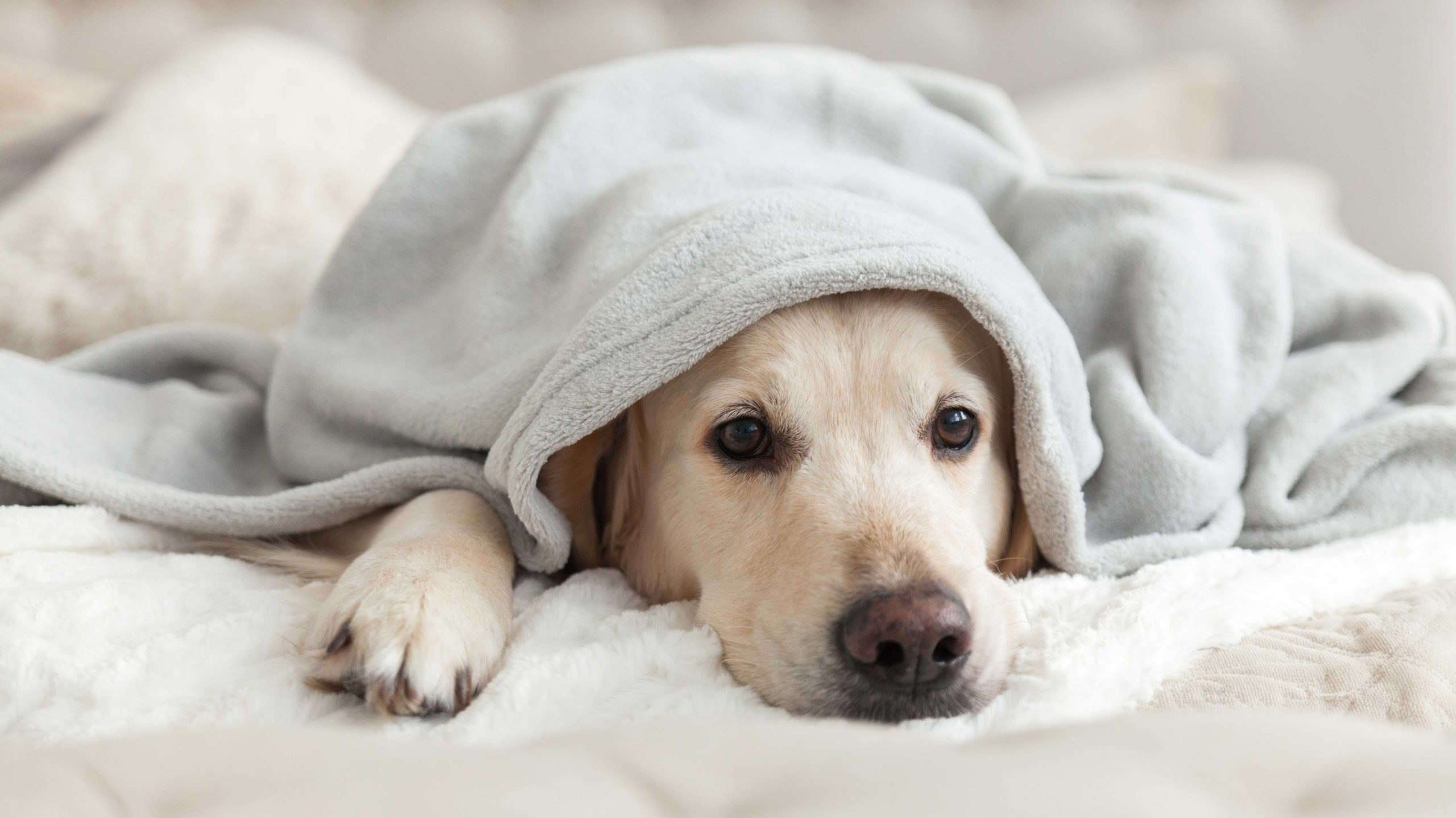 dog blanket sad