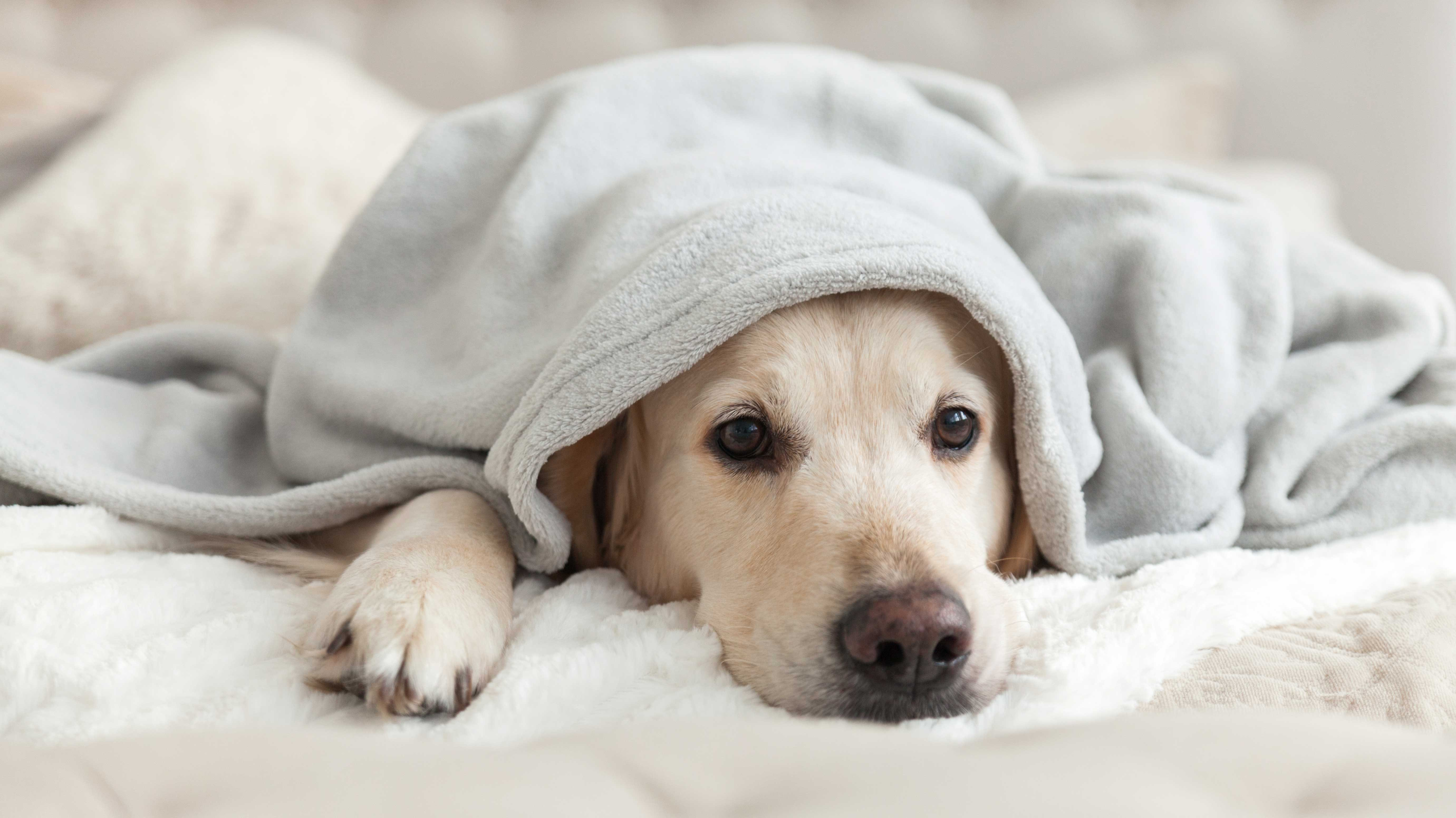 Dog Seizure Symptoms To Watch Out For Reader S Digest,Green Tea Caffeine Pills