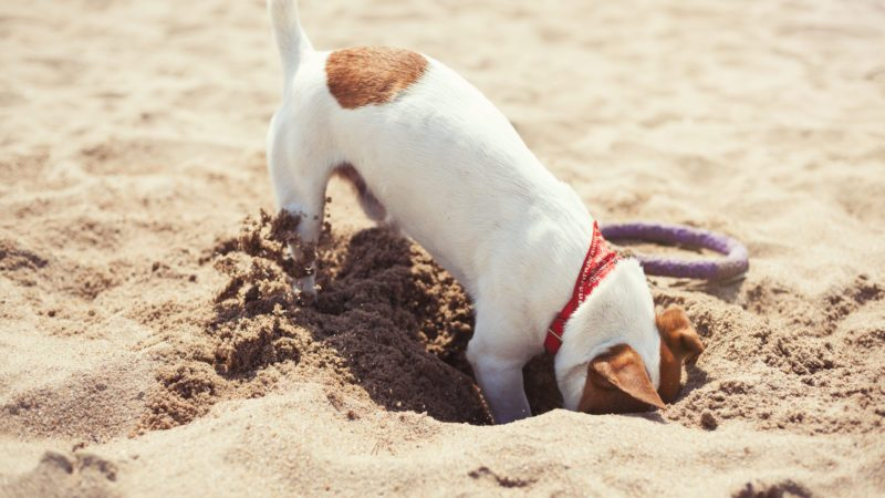 jack russell terrier digging sand beach