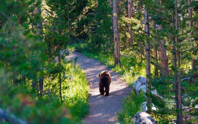 american black bear walking away through the forest