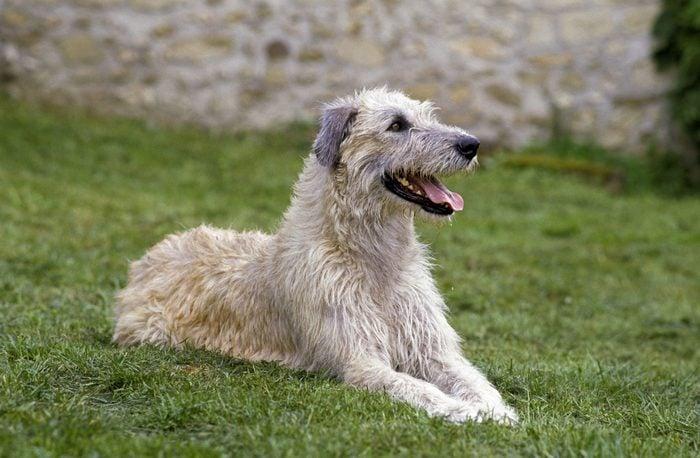 Irish wolfhound sitting in the grass