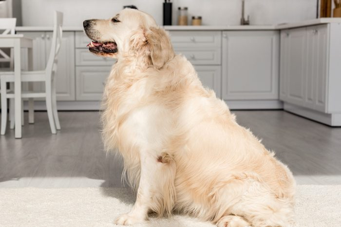 cropped view of woman training cute golden retriever in kitchen