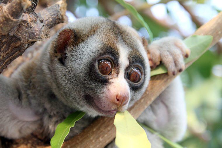 slow loris monkey on tree