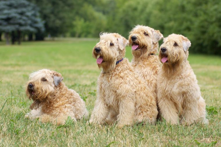 Ireland soft coated wheaten terriers -summer group portrait