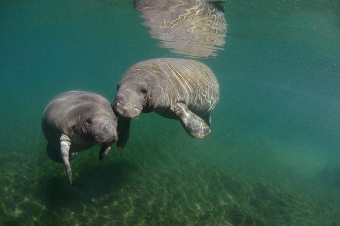 Manatees, Cristal River, Florida, USA