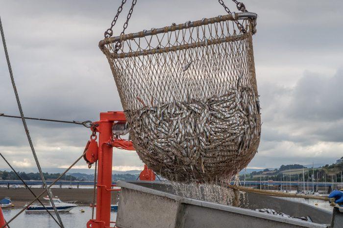 Fishing net full of sardines