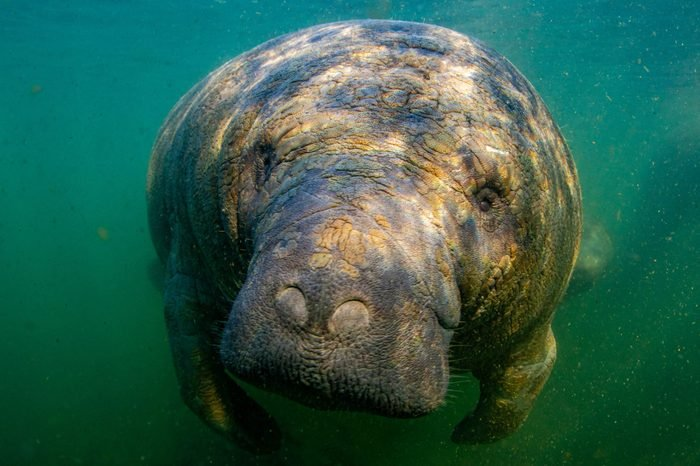 Beautiful manatee enjoying the warm water from the springs in Kings Bay, Crystal River, Florida