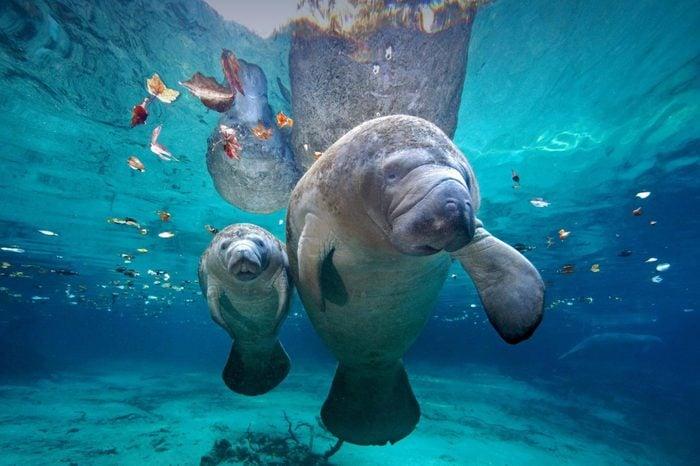 Manatee mom and baby at sea, Florida