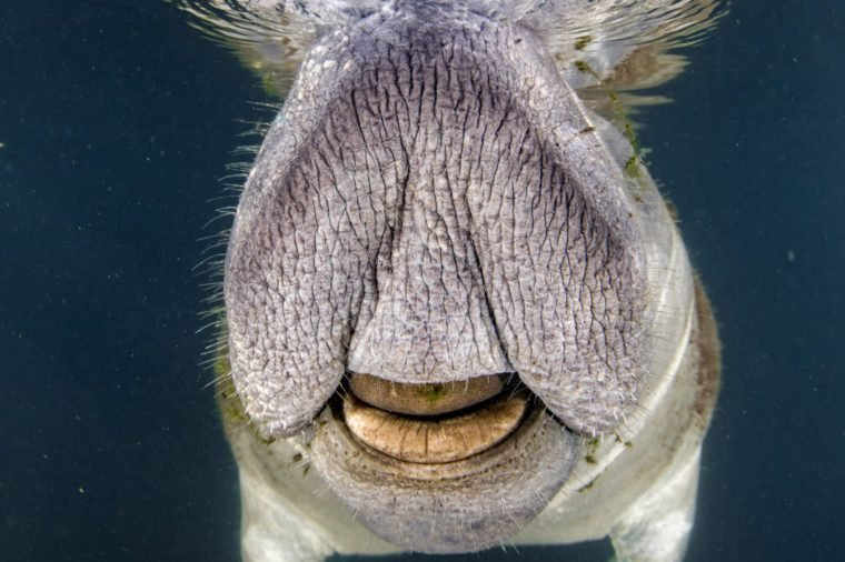manatee close up portrait underwater in crystal river