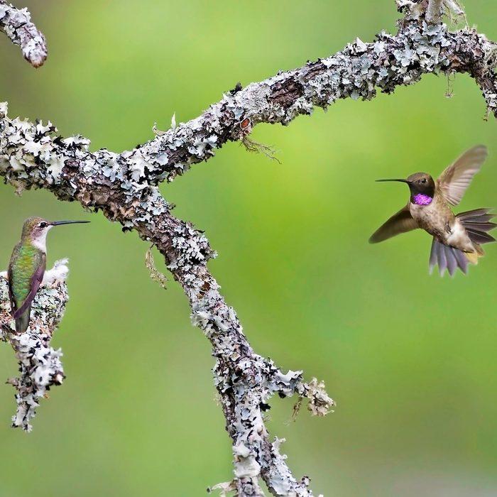 hummingbirds blending in