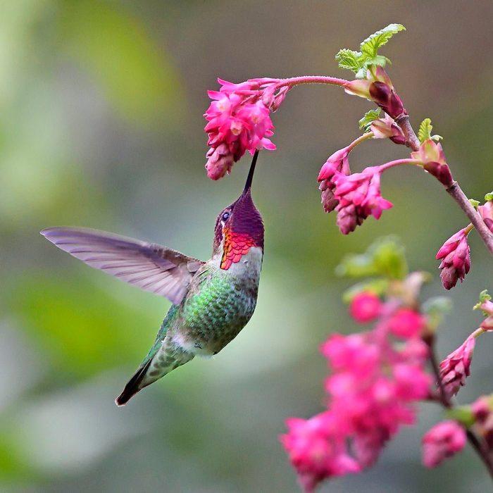 male anna hummingbird