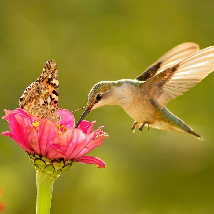 ruby throat hummingbird with butterfly