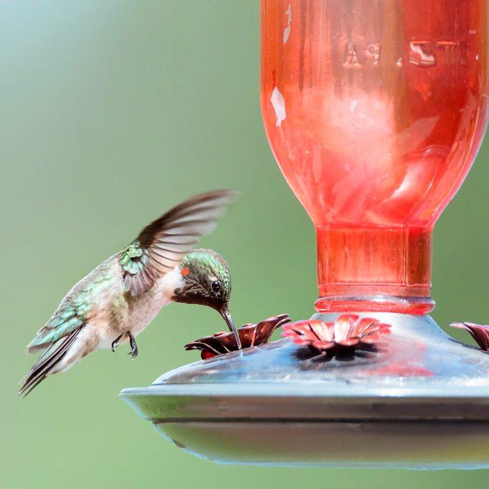 ruby throat hummingbird drinking