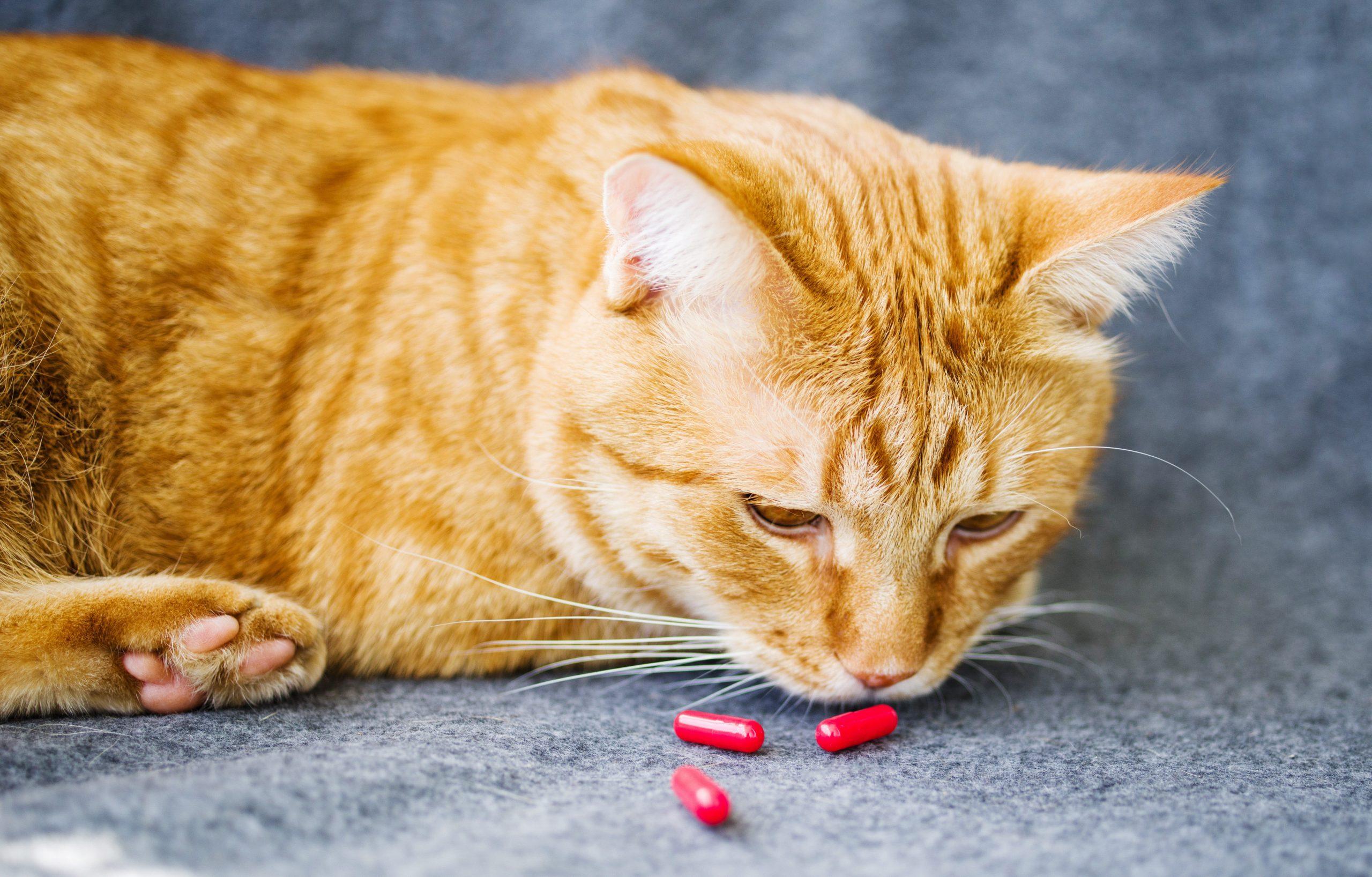 Sad orange cat and red pills closeup