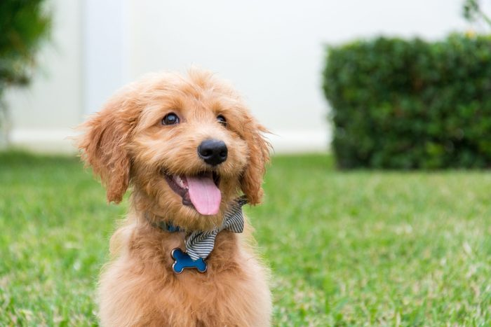 Cute Golden-doodle puppy with bow tie sitting outdoors with tongue sticking out.