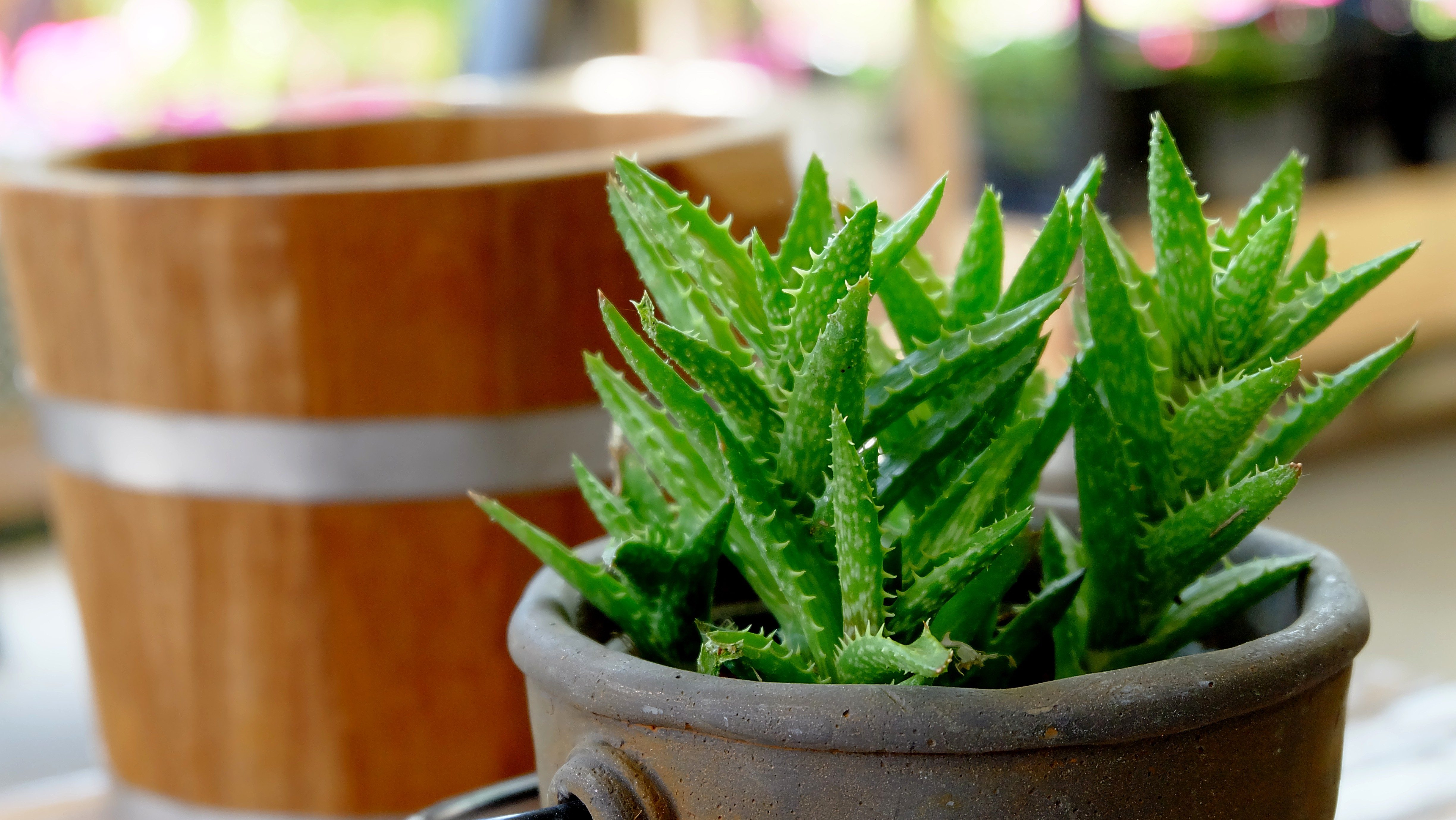 Aloe vera plants in flower pot on vintage Wooden table background.
