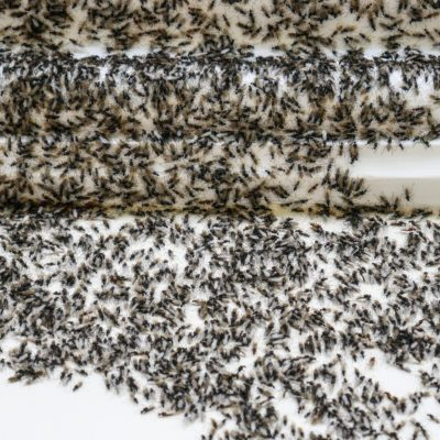 Flying ants invasion, winged ants infestation on wall of house
