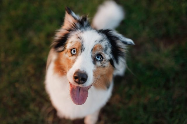 Funny and happy dog muzzle, Australian Shepherd in the grass