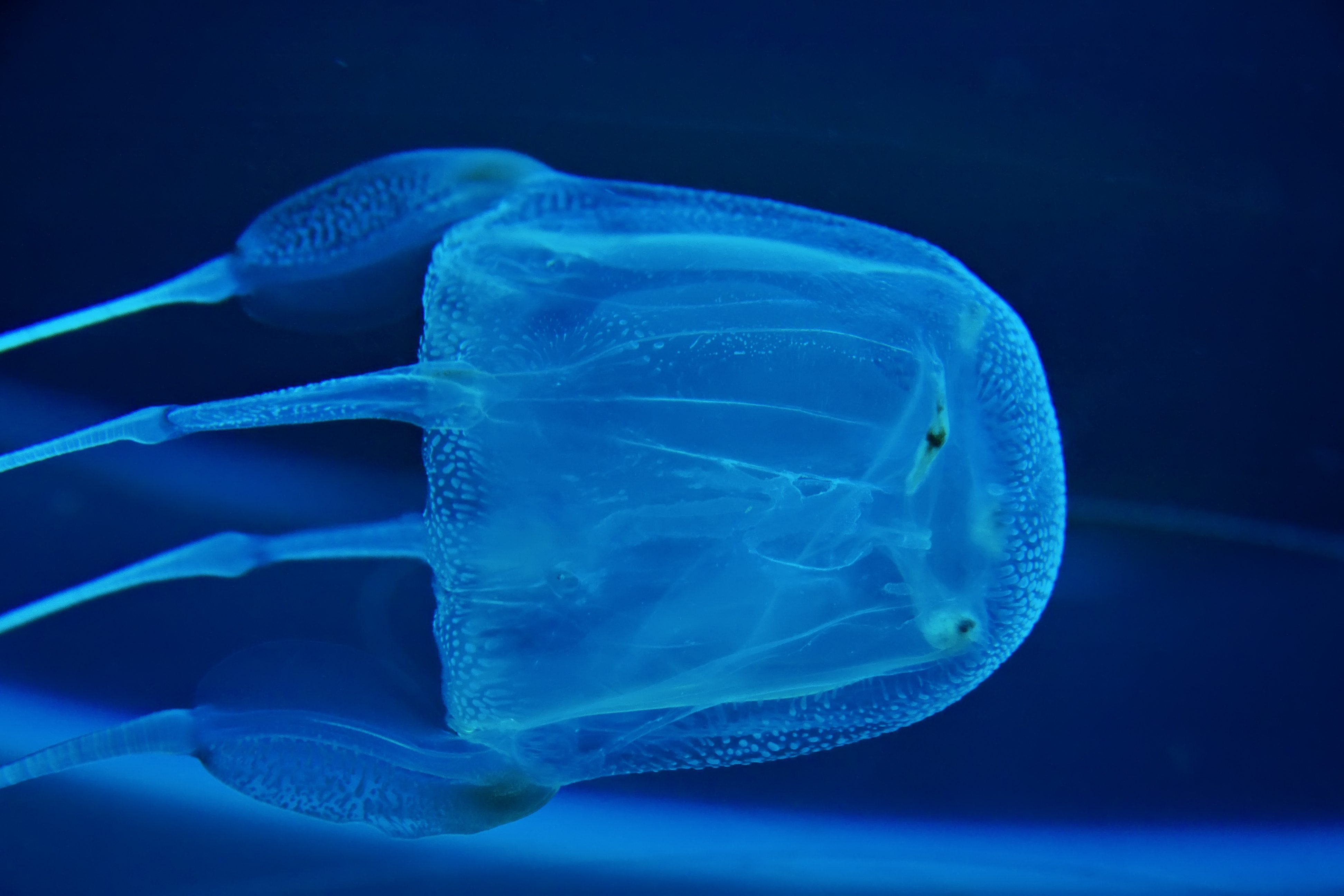 box jelly fish photographed in aquarium