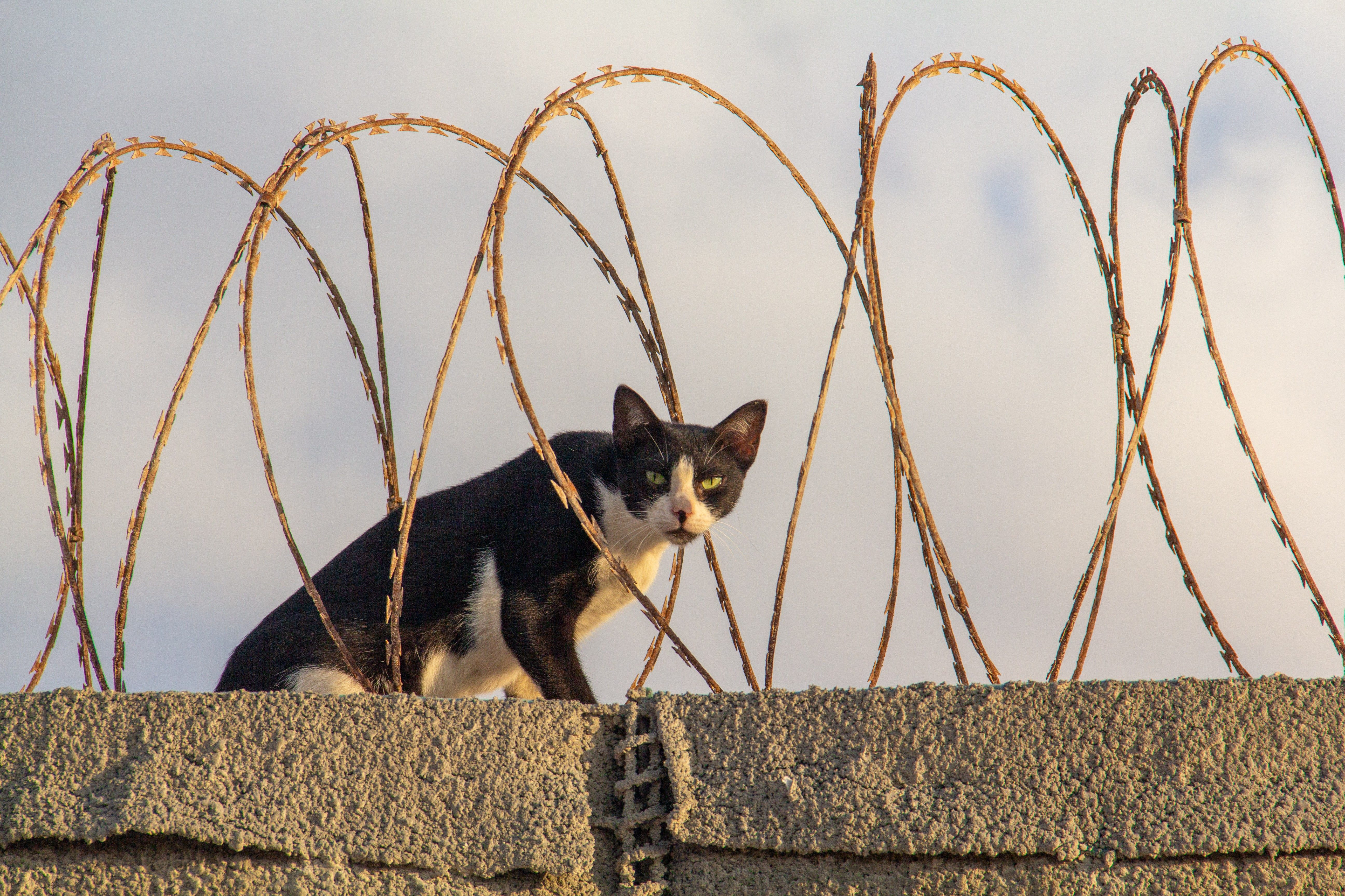A black and white bicolor tuxedo cat with green eyes looks at the camera while sitting among barbed razor wire atop