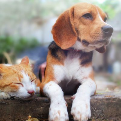 Beagle dog and brown cat lying together on the footpath outdoor in the park.
