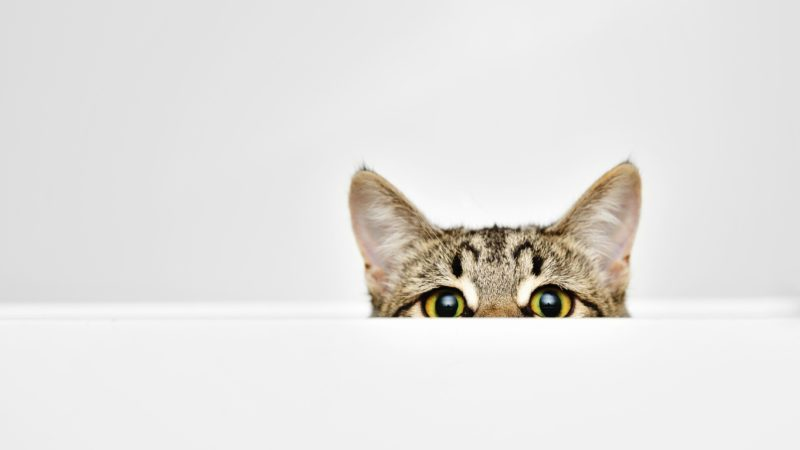 Cat curiously peeking out from behind the white background