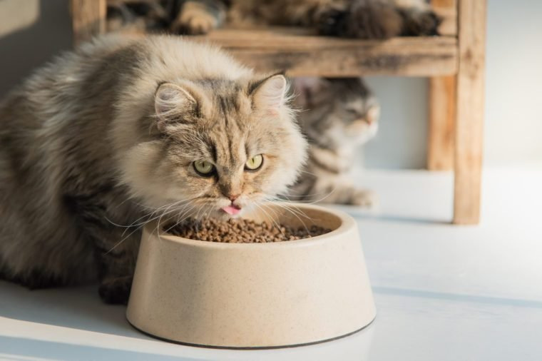 Cute persian cat eating dry food on white floor