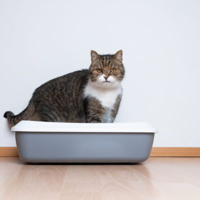 side view of a tabby british shorthair cat using a cat  litter box in front of white wall with copy space looking at camera