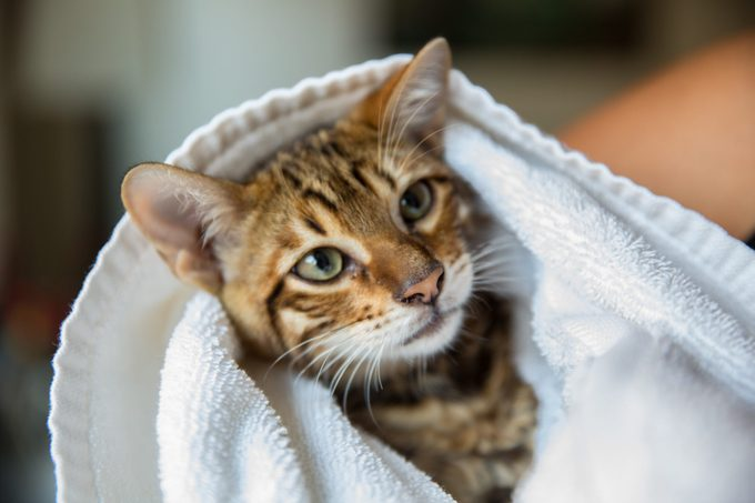 gorgeous toyger kitten wrapped in towel after bath - orange striped tiger cat