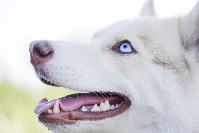 Husky dog profile portrait outdoors. Cute white siberian husky dog with blue eyes, showing its tongue and teeth