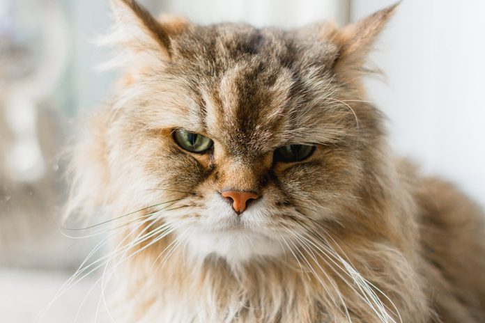 Closeup front facing portrait of a brown long haired adult cat looking straight ahead with soft focus of a window in the background