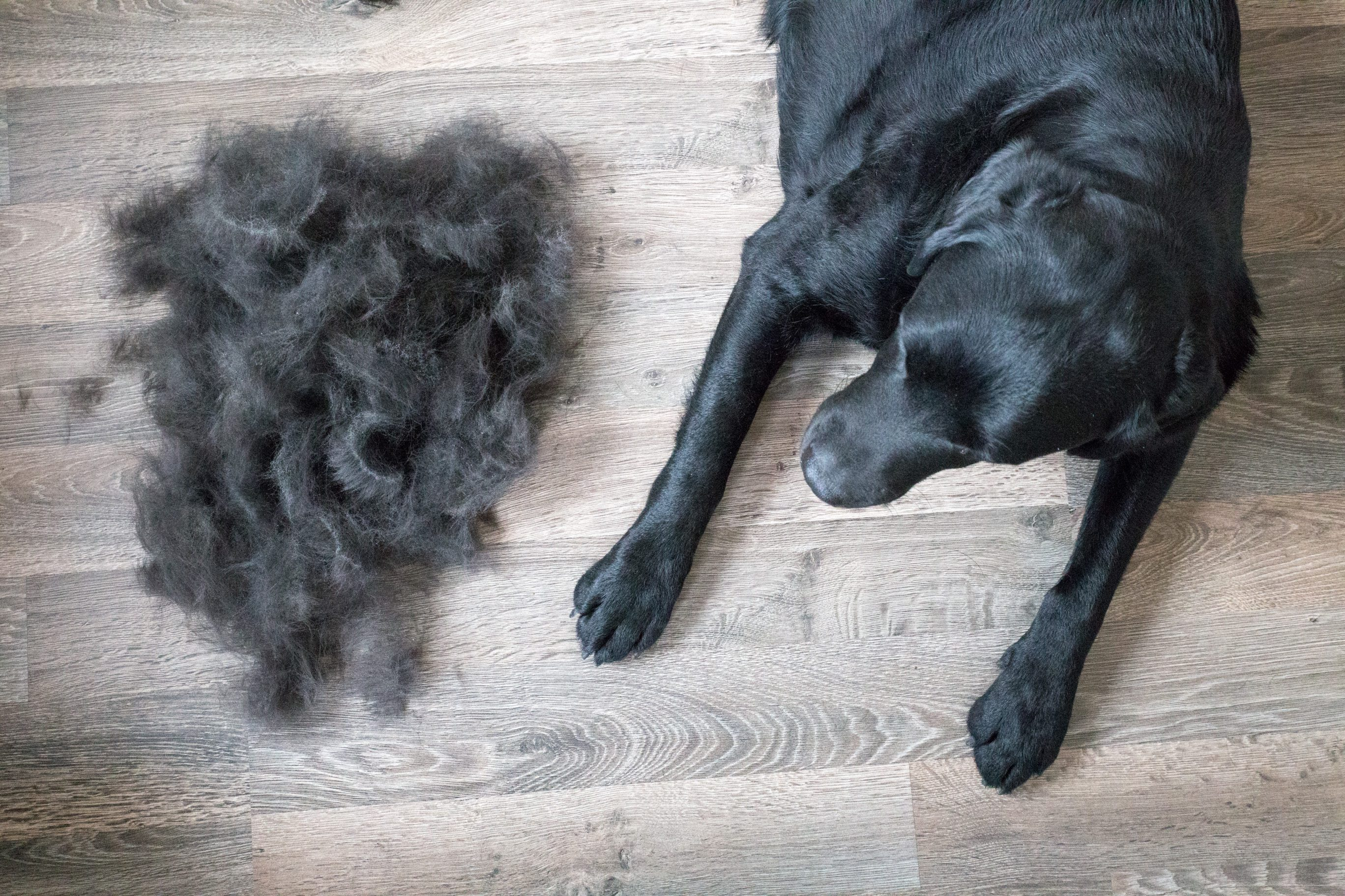 Huge Pile of Fur Brushed off Black Labrador