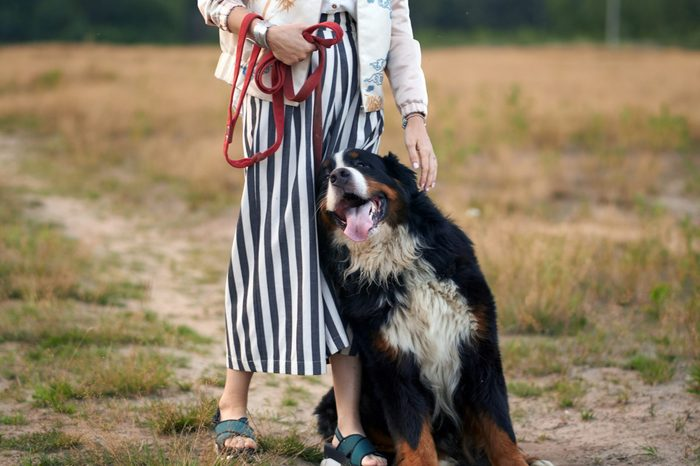 girl and dog sennenhund breed the dog loves his mistress leans on her. the hostess's legs the dog and the leash