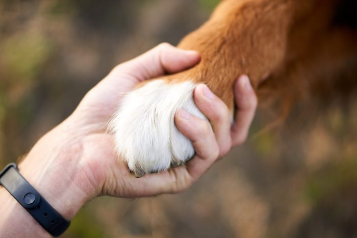 hand and paw of a big dog, a handshake with a pet. sports bracelets on hand, walk with a dog