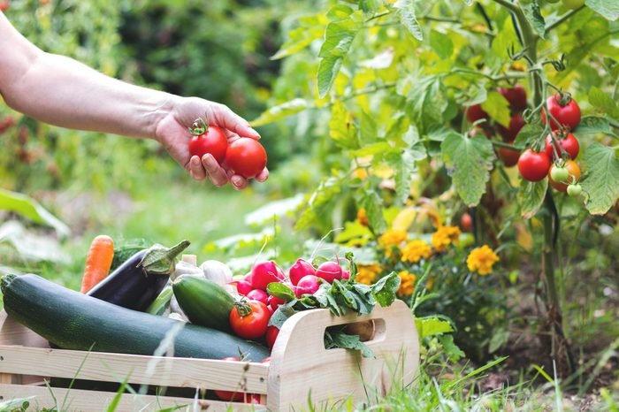 Woman is harvesting tomatoes. Woman´s hands picking fresh tomatoes to wooden crate. Homegrown produce in organic garden