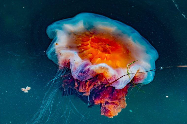 Jellyfish off the coast of Sweden