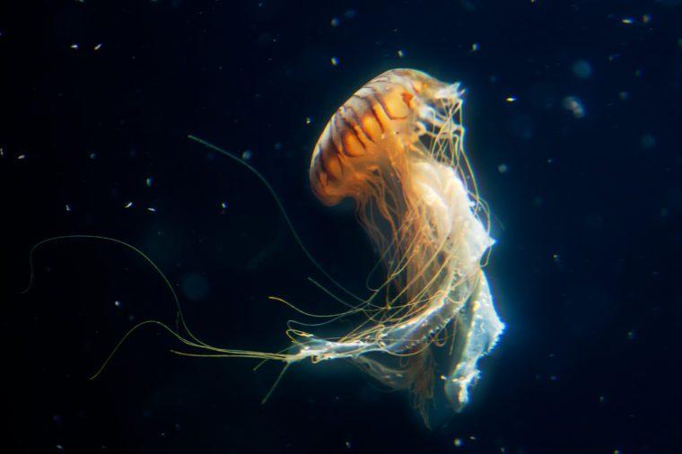 big jellyfish marine