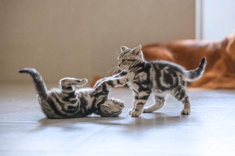 Two cute American cat kittens playing