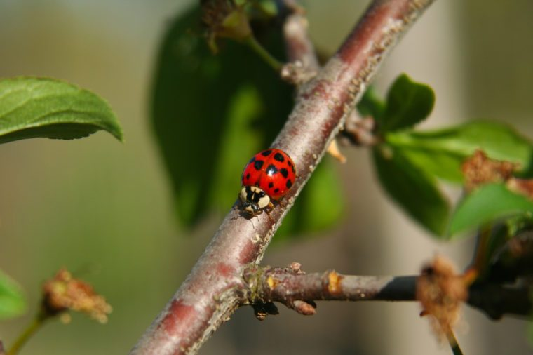 Peach Tree With Lady Bug