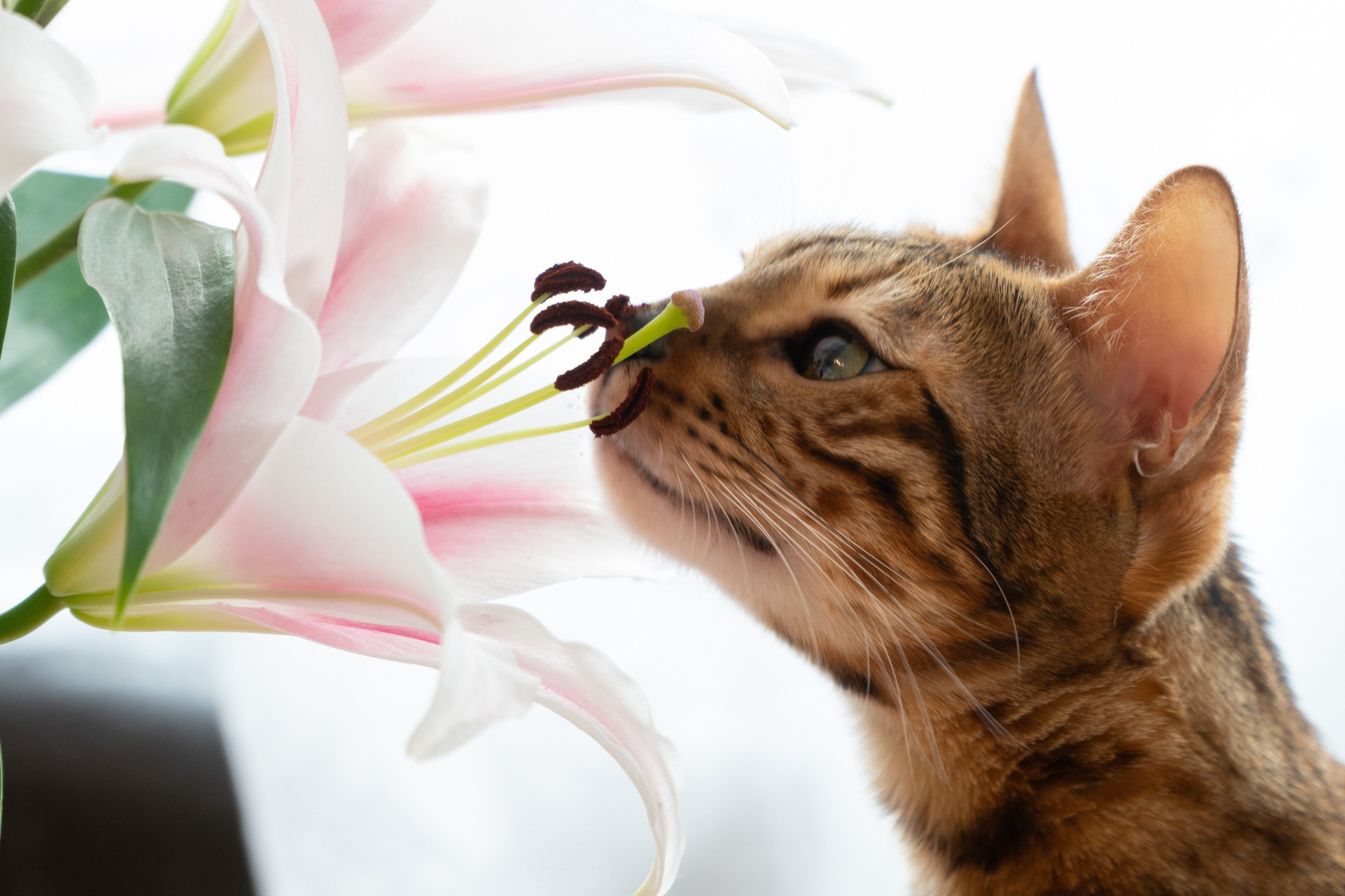 cute Bengal cat sniffs lilly flowers.