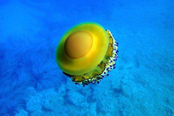 Mediterranean Fried Egg Jellyfish - Cotylorhiza tuberculata