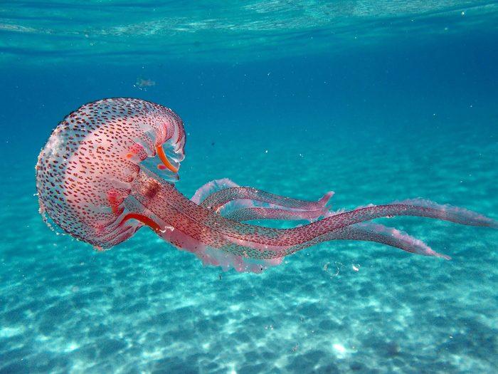 Tuscany, Italy. Pelagia noctiluca Jellyfish in the sea of Elba Island